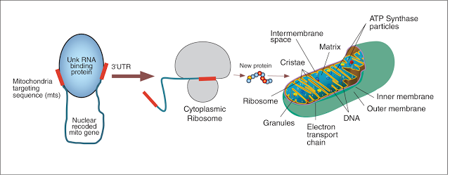 figure showing nuclear encoded 